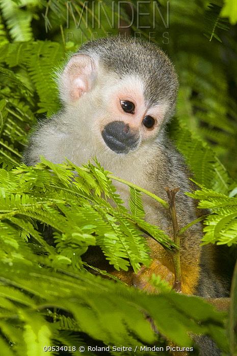 Black-crowned Central American Squirrel Monkey (Saimiri oerstedii) juvenile, Rancho Casa Grande, Manuel Antonio National Park, Costa Rica  -  Roland Seitre