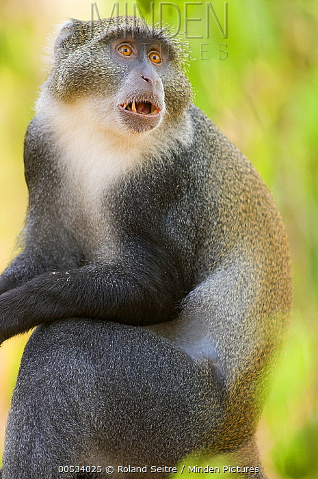 Sykes Monkey (Cercopithecus albogularis)  -  Roland Seitre