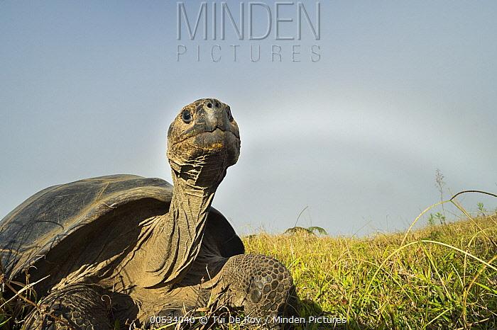 Volcan Alcedo Giant Tortoise (Chelonoidis vandenburghi), Alcedo Volcano, Isabela Island, Ecuador  -  Tui De Roy