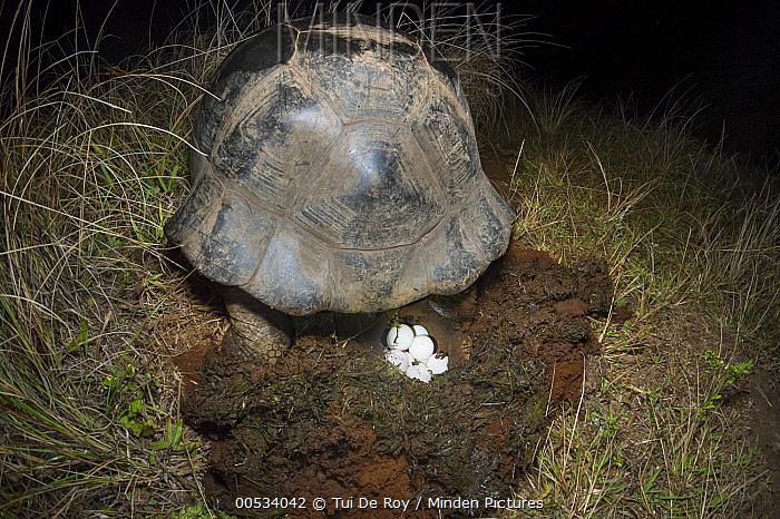 Volcan Alcedo Giant Tortoise (Chelonoidis vandenburghi) laying eggs, Alcedo Volcano, Isabela Island, Ecuador  -  Tui De Roy