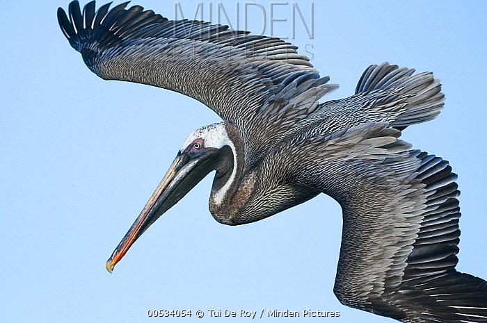 Brown Pelican (Pelecanus occidentalis) flying, Black Turtle Cove, Santa Cruz Island, Ecuador  -  Tui De Roy