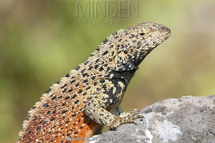 Hood Lava Lizard (Microlophus delanonis) male, Punta Suarez, Espanola Island, Ecuador  -  Tui De Roy