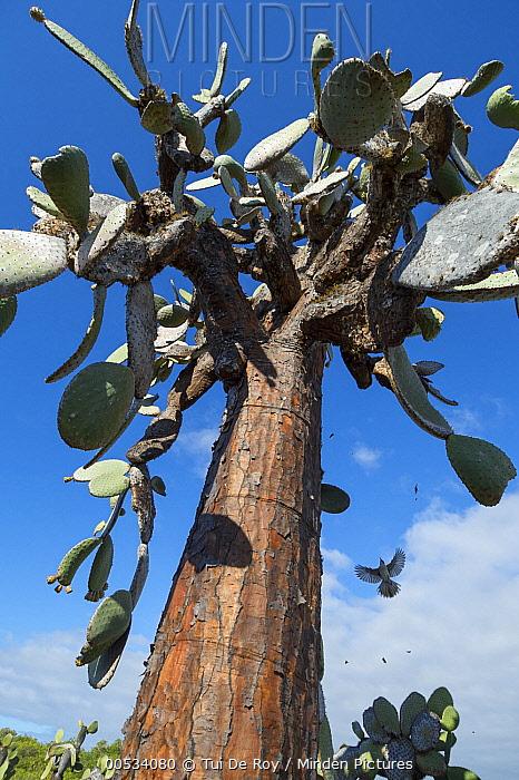 Galapagos Mockingbird (Nesomimus parvulus) flying up to large cactus, Tortuga Bay, Santa Cruz Island, Ecuador  -  Tui De Roy