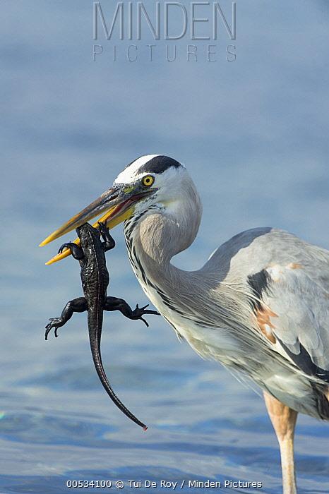 Great Blue Heron (Ardea herodias), hunting newly-hatched Marine Iguana (Amblyrhynchus cristatus), Punta Espinosa, Fernandina Island, Ecuador  -  Tui De Roy