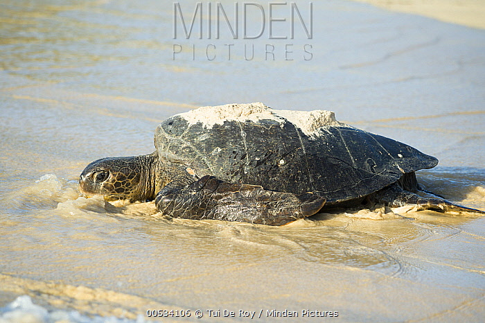 Green Sea Turtle (Chelonia mydas) female coming ashore to lay eggs, Punta Cormorant, Floreana Island, Ecuador  -  Tui De Roy