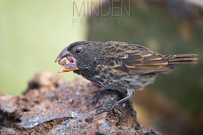 Large Ground Finch (Geospiza magnirostris) feeding on a seed, Ecuador  -  Tui De Roy