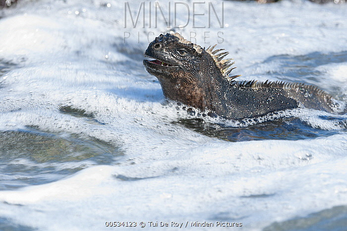 Marine Iguana (Amblyrhynchus cristatus) swimming, Academy Bay, Santa Cruz Island, Ecuador  -  Tui De Roy