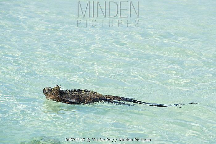 Marine Iguana (Amblyrhynchus cristatus) swimming, Tortuga Bay, Santa Cruz Island, Ecuador  -  Tui De Roy