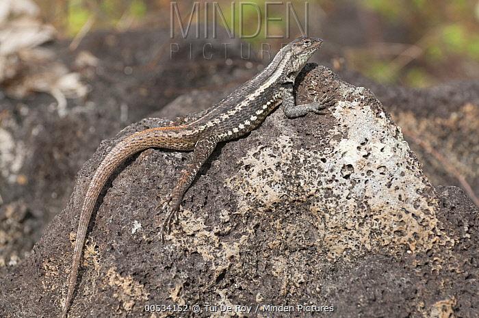 San Cristobal Lava Lizard (Microlophus bivittatus), San Cristobal Island, Ecuador  -  Tui De Roy