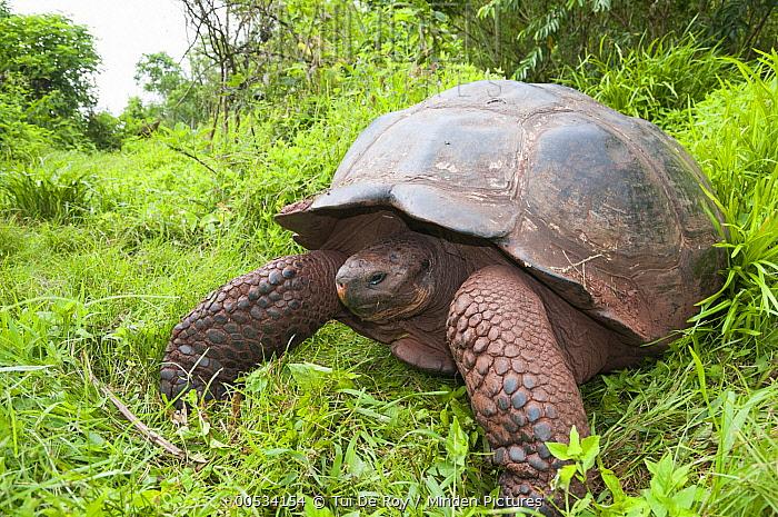 Galapagos Giant Tortoise (Chelonoidis nigra porteri), El Chato Tortoise Reserve, Santa Cruz Island, Ecuador  -  Tui De Roy