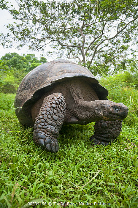 Indefatigable Island Tortoise (Chelonoidis porteri), Rancho Primicias, Santa Cruz Island, Ecuador  -  Tui De Roy