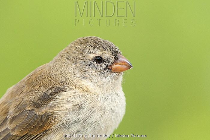 Small Tree-Finch (Camarhynchus parvulus), Academy Bay, Santa Cruz Island, Ecuador  -  Tui De Roy