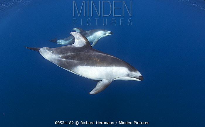 Pacific White-sided Dolphin (Lagenorhynchus obliquidens) pair, Nine Mile Bank, San Diego, California  -  Richard Herrmann