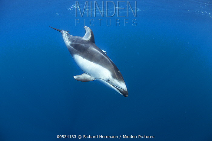 Pacific White-sided Dolphin (Lagenorhynchus obliquidens), Nine Mile Bank, San Diego, California  -  Richard Herrmann
