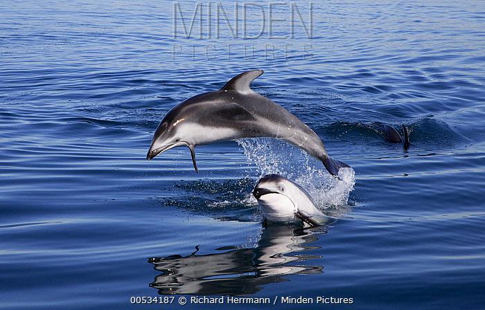 Pacific White-sided Dolphin (Lagenorhynchus obliquidens) pair jumping, Nine Mile Bank, San Diego, California  -  Richard Herrmann