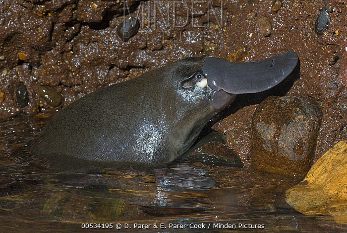 Platypus (Ornithorhynchus anatinus) male in water, native to Australia  -  D. Parer & E. Parer-Cook