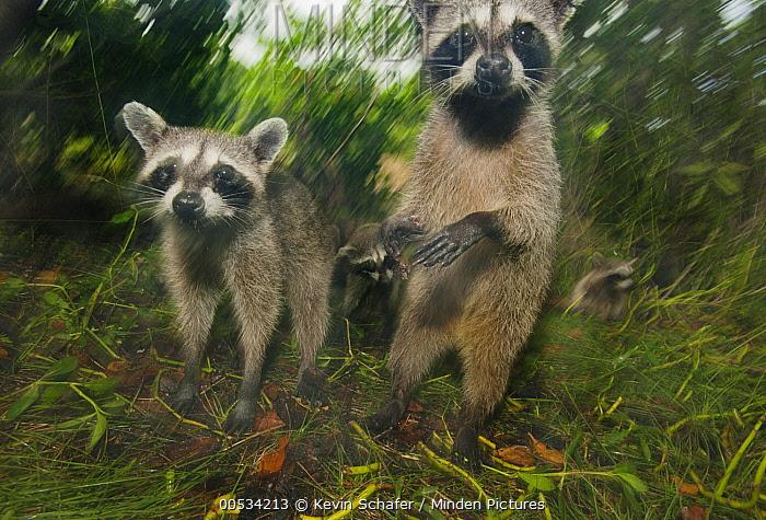 Pygmy Raccoon (Procyon pygmaeus) trio, Cozumel Island, Mexico  -  Kevin Schafer
