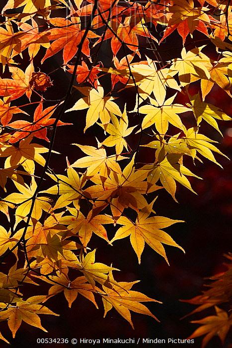 Japanese Maple (Acer palmatum) foliage in autumn colors, Kyoto, Japan  -  Hiroya Minakuchi