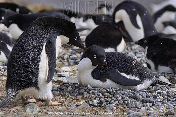 Adelie Penguin (Pygoscelis adeliae) pair after trading incubation duties on pebble nest. Penguin on left is now free to go feed, South Georgia. Sequence 10 of 10.  -  Hiroya Minakuchi