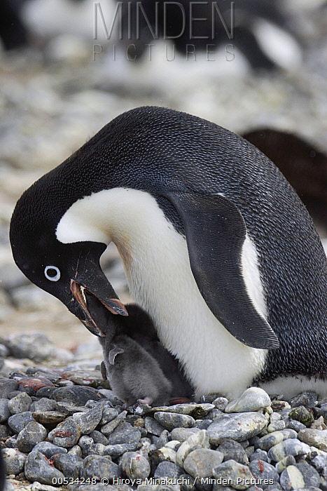 Adelie Penguin (Pygoscelis adeliae) feeding chick on pebble nest, South Georgia Island.  -  Hiroya Minakuchi