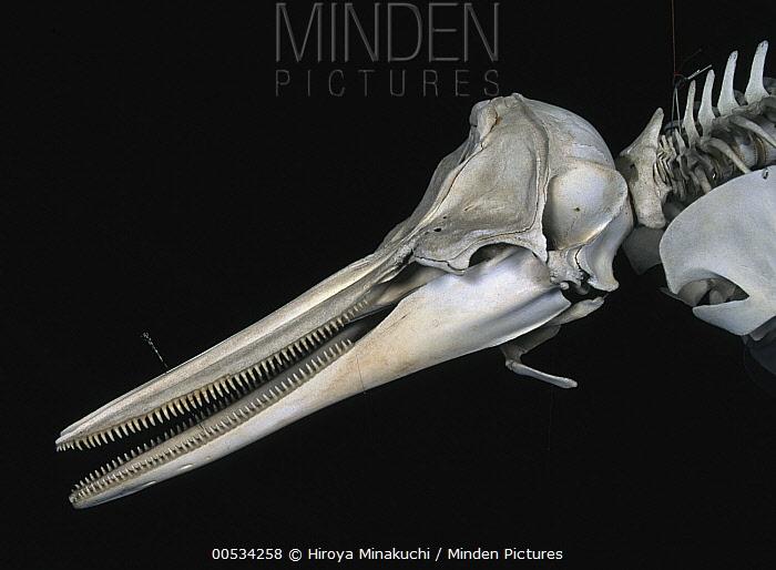Common Dolphin (Delphinus delphis) skull  -  Hiroya Minakuchi