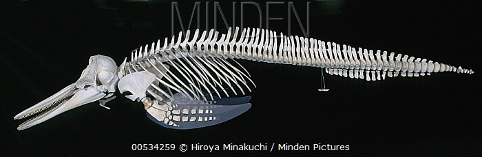 Common Dolphin (Delphinus delphis) skeleton  -  Hiroya Minakuchi