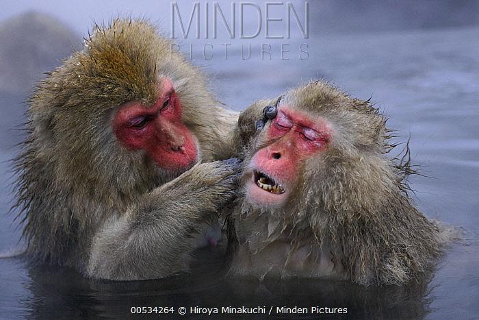 Japanese Macaque (Macaca fuscata) pair grooming in thermal pool, Jigokudani, Japan  -  Hiroya Minakuchi