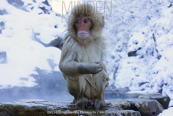 Japanese Macaque (Macaca fuscata) baby in snow, Jigokudani, Japan  -  Hiroya Minakuchi