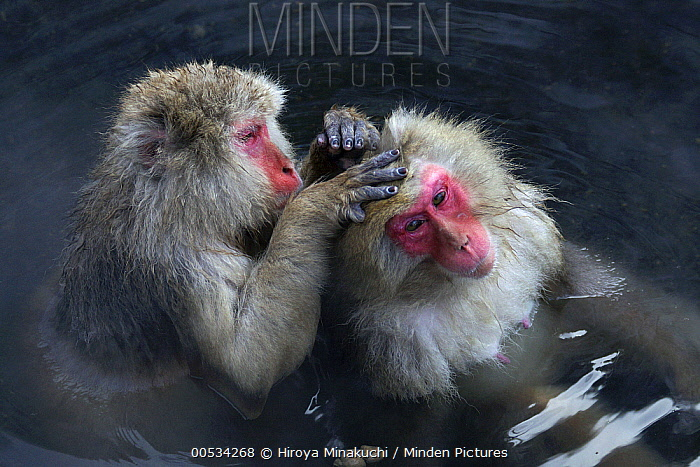Japanese Macaque (Macaca fuscata) grooming in thermal pool, Jigokudani, Japan  -  Hiroya Minakuchi