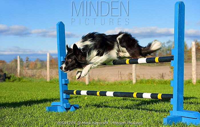 Border Collie (Canis familiaris) jumping in agility course  -  Mark Raycroft