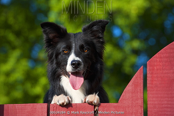 Border Collie (Canis familiaris), panting while looking over fence  -  Mark Raycroft