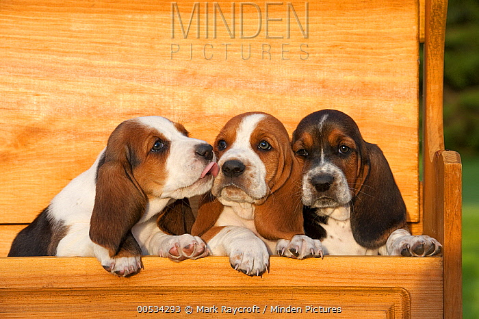 Basset Hound (Canis familiaris) puppies  -  Mark Raycroft