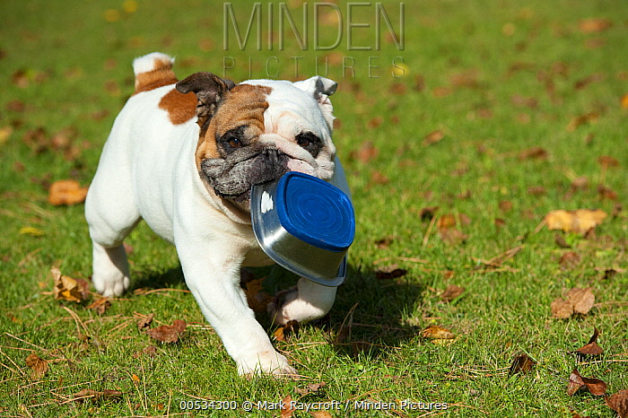 English Bulldog (Canis familiaris) carrying a container  -  Mark Raycroft
