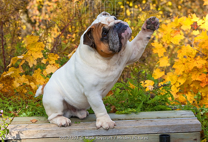 English Bulldog (Canis familiaris), reaching  -  Mark Raycroft