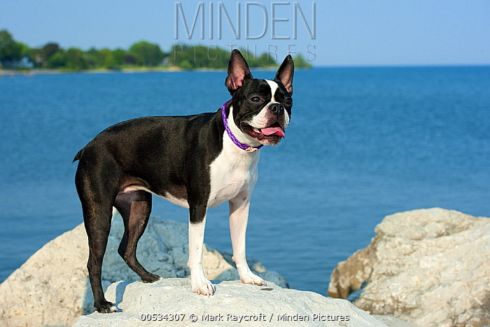 Boston Terrier (Canis familiaris) on rocks at seashore  -  Mark Raycroft