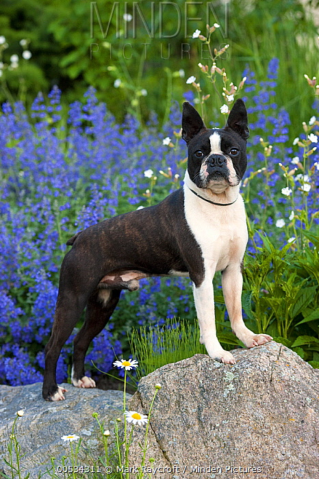 Boston Terrier (Canis familiaris)  -  Mark Raycroft