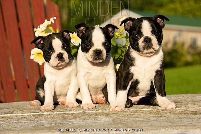 Boston Terrier (Canis familiaris) puppies  -  Mark Raycroft