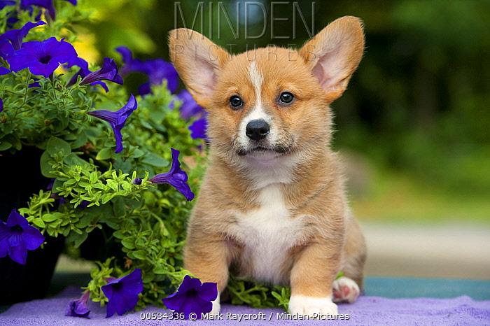 Pembroke Welsh Corgi (Canis familiaris) puppy  -  Mark Raycroft
