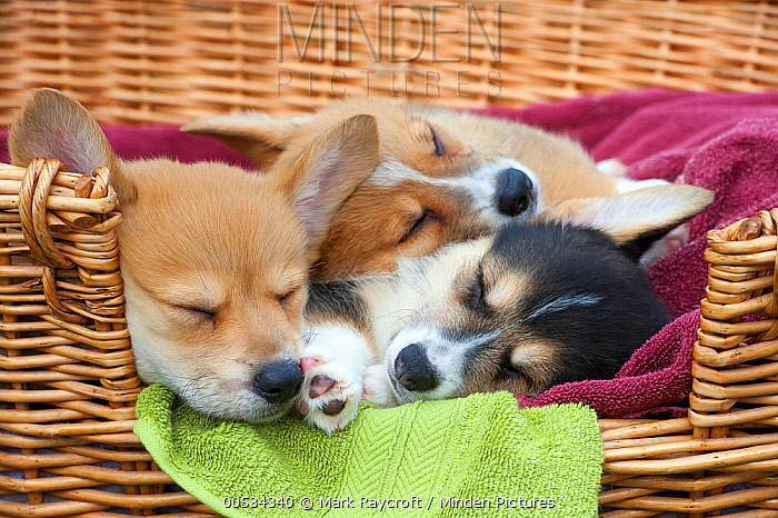 Pembroke Welsh Corgi (Canis familiaris) puppies sleeping in a pile  -  Mark Raycroft