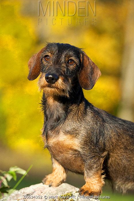 Miniature Wire Haired Dachshund (Canis familiaris)  -  Mark Raycroft