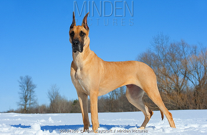 Great Dane (Canis familiaris) fawn-colored in snow  -  Mark Raycroft