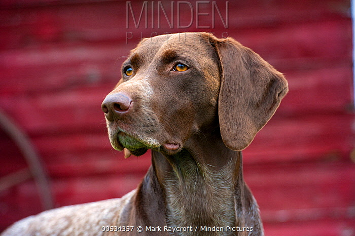 German Shorthaired Pointer (Canis familiaris) portrait  -  Mark Raycroft
