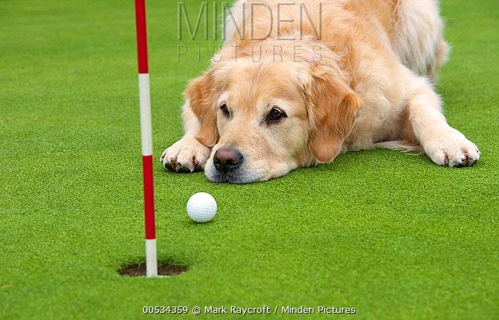 Golden Retriever (Canis familiaris) lying on golf course  -  Mark Raycroft