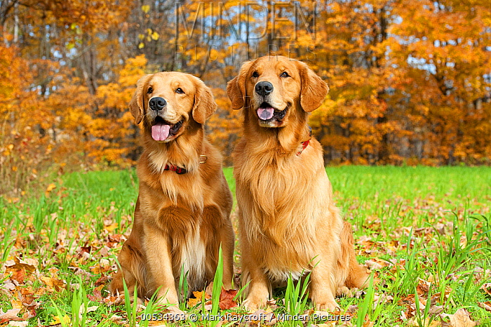 Golden Retriever (Canis familiaris) pair  -  Mark Raycroft