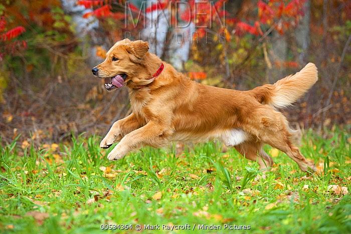 Golden Retriever (Canis familiaris) running  -  Mark Raycroft
