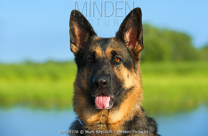 German Shepherd (Canis familiaris)  -  Mark Raycroft