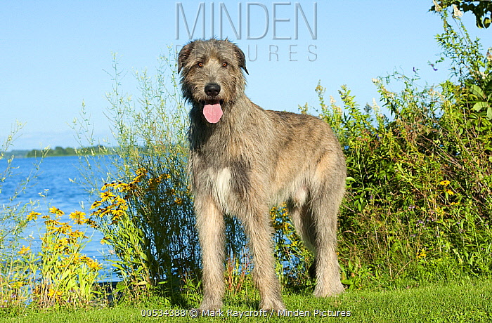 Irish Wolfhound (Canis familiaris), panting  -  Mark Raycroft