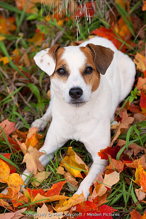 Jack Russell Terrier (Canis familiaris)  -  Mark Raycroft