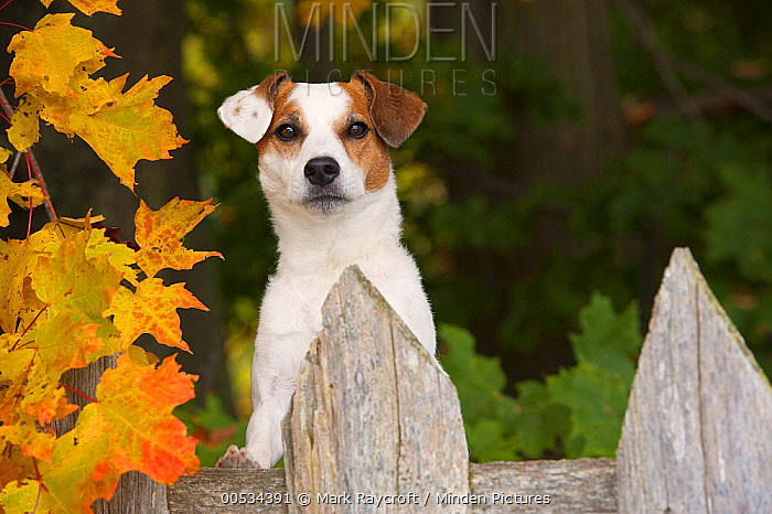 Jack Russell Terrier (Canis familiaris), looking over fence  -  Mark Raycroft