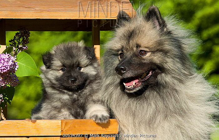 Keeshond (Canis familiaris) adult and puppy  -  Mark Raycroft